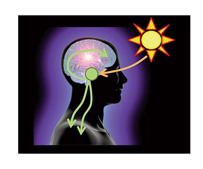 The suprachiasmatic nucleus (SCN) is the central circadian pacemaker. The SCN is located in the hypothalamus and is regulated by light signals from the eye. The SCN then affects a wide variety of physiological and behavioral outcomes.